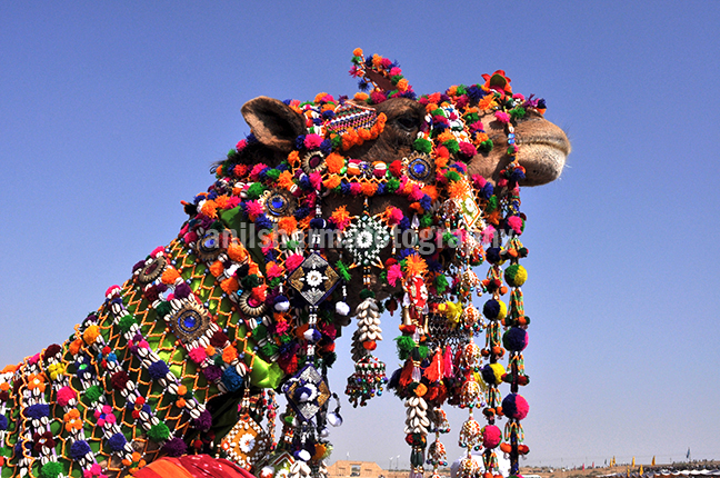 Festivals: Jaisalmer Desert Festival Rajasthan (India) - Decorated camel for best decorated camel competition at jaisalmer desert fair. by Anil Sharma Photography